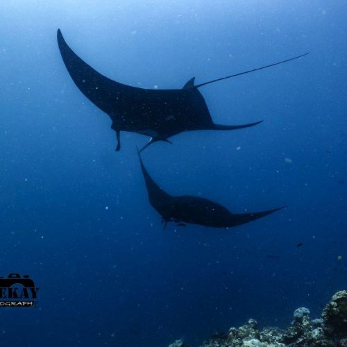 Some resident Manta Rays as seen while diving in Savusavu.